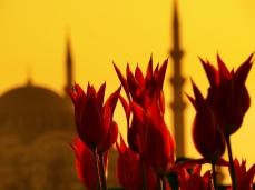 İstanbul Lalesi