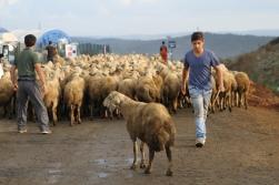 Peygamber mesleği: Çobanlık...