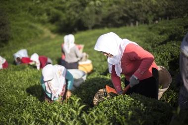 Türkiye'de çay, sadece Gürcistan sınırından başlayan ve Fatsa'ya kadar uzanan alan içerisinde yetiştirilebilmektedir.